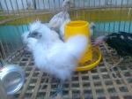 ayam-kapas