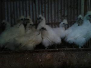 bibit ayam kapas