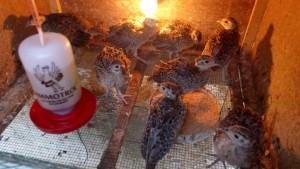 bibit ayam ringnecked pheasant