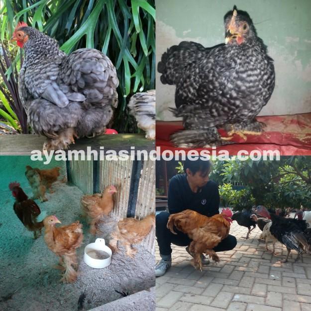 jual ayam cochin dan ayam brahma